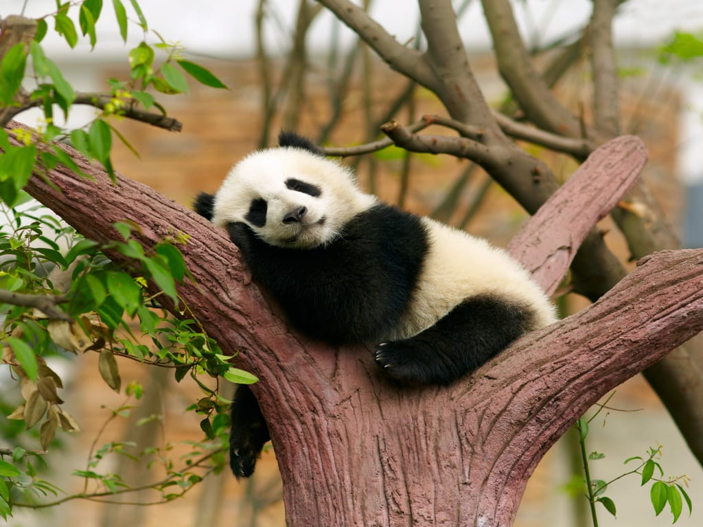Baby Panda 1024