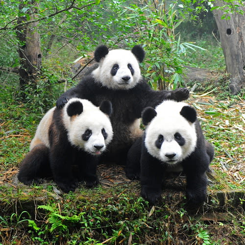 Pandas & the Path to Prosperity 500