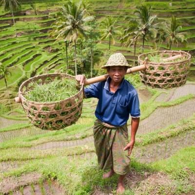 Bali Life Traditional Farming 500