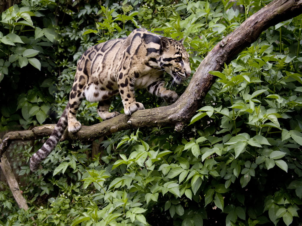 Clouded Leopard Chitwan National Park 1024