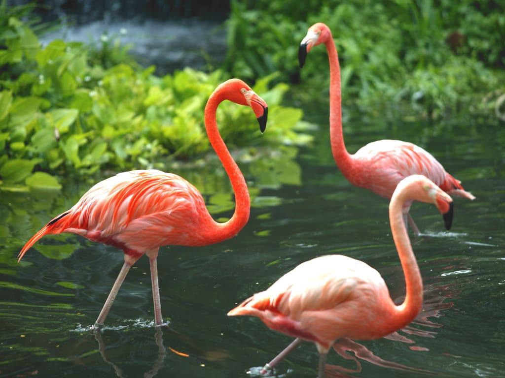 Singapore Zoo- Flamingoes