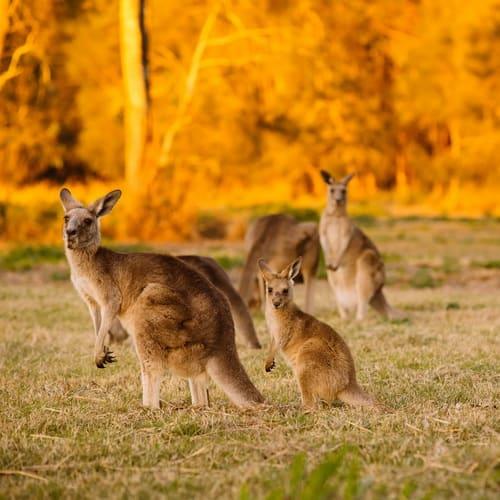 Australia1-500