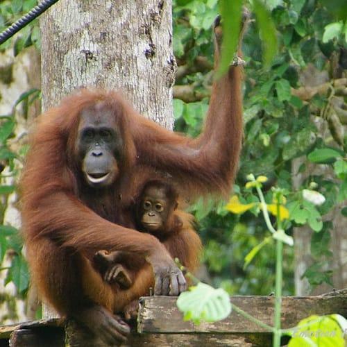 Classic Malaysia Borneo500
