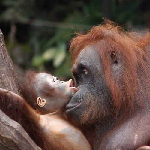 Orangutans1